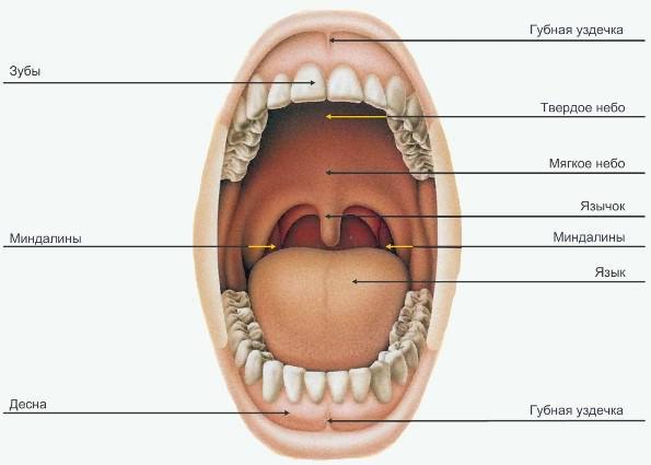 художественной схема полости рта человека оформленные