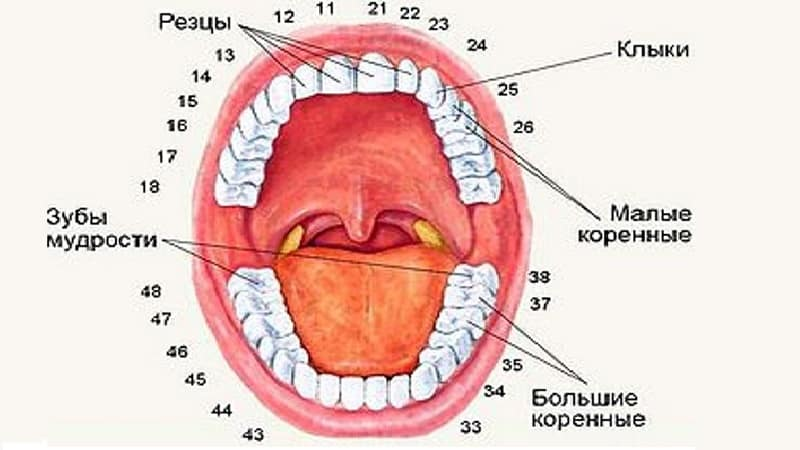 Нумерация зубов в стоматологии: схема расположения, название и виды