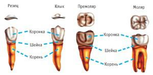 Лезет коренной зуб у ребенка