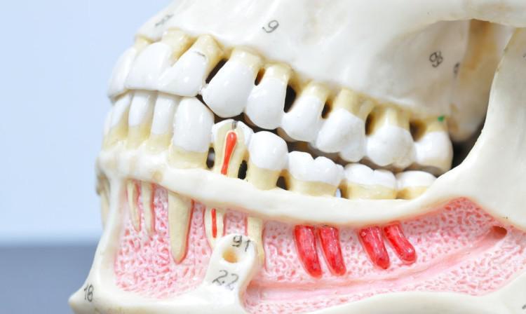 Строение человеческого зуба: анатомия зубов человека и гистологическое строение зуба, функции зубов