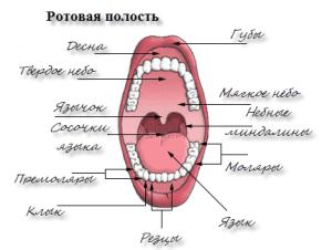 Какие железы находятся во рту и каковы их функции